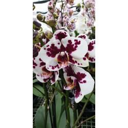 Phalaenopsis Black Magic