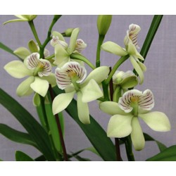 Encyclia Radiatum