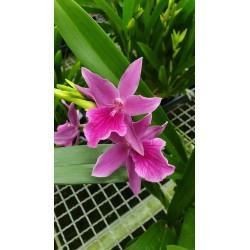 Miltonia Honolulu