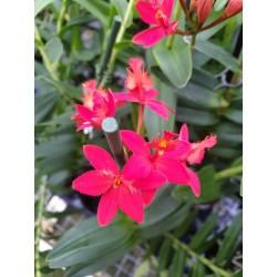 Epidendrum Rosso