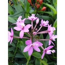Epidendrum Lilla
