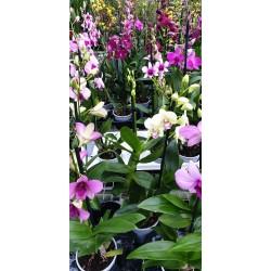 Dendrobium Phalaenopsis mix