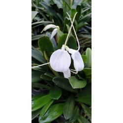 Masdevallia bianca