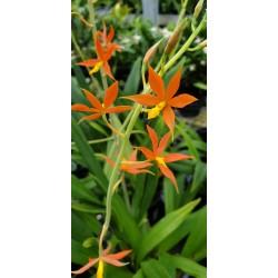 Epidendrum Vitellinum