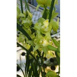 Cymbidium Verde acido 3/4 rami