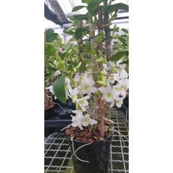 Dendrobium Baby Love