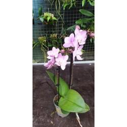 Phalaenopsis rosa mini vaso 7