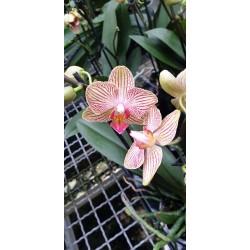 Phalaenopsis Trento