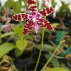 Phalaenopsisi bastianii