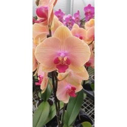Phalaenopsis Caribbean Dream