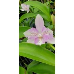 Laelia Cattleya ibrido