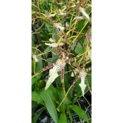 Brassia Toskana