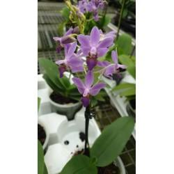 Doritenopsis Viola