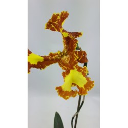 Psychopsis Mariposa Special