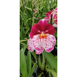 Miltonia Breathless From Love