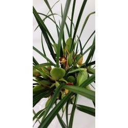 Maxillaria Tenuifoglia