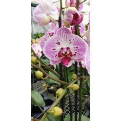Phalaenopsis strawberry