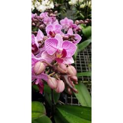 Phalaenopsis santiago
