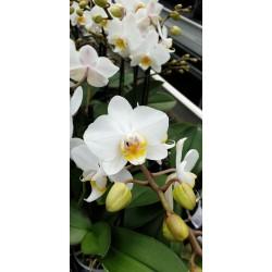 Phalaenopsis julia