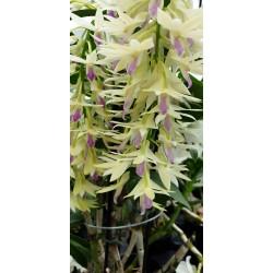 Dendrobium ametistoglossum