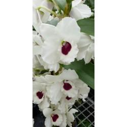 Dendrobium diamond