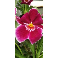 Miltonia Red Tide